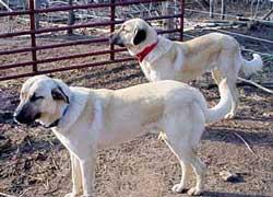 Anatolian Shepherds at Red Creek Farm