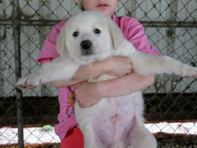 Another beautiful solid white pup out of SPIRIT and BANDIT. $750,